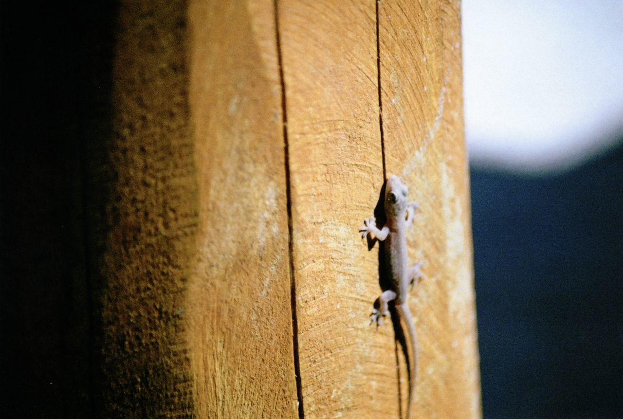 35mm Film Animal Themes Animals In The Wild Close-up Day Film Film Photography Gecko Minolta Minolta Maxxum Nature No People One Animal Outdoors