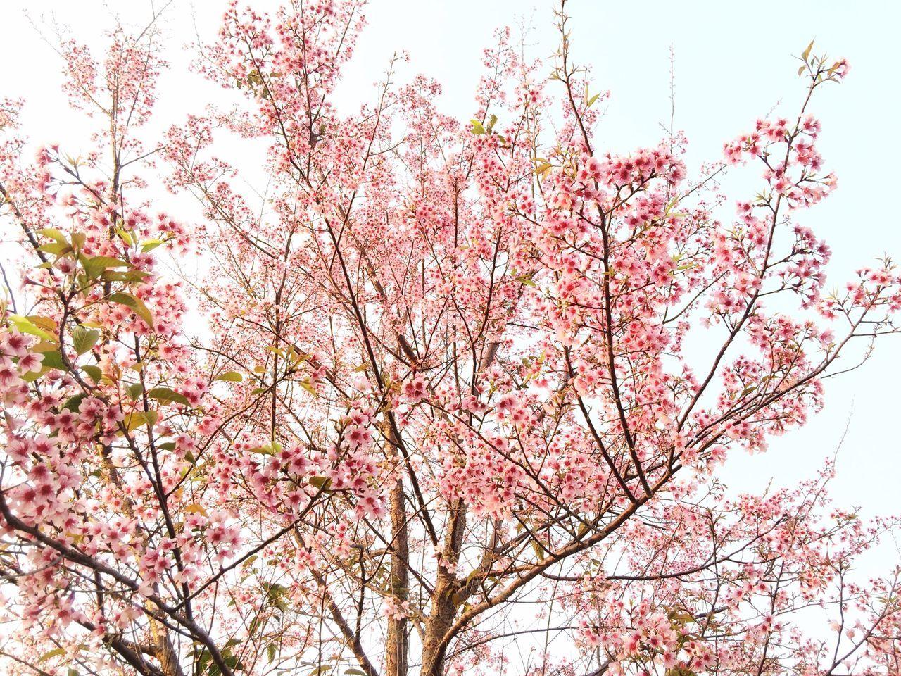 Wild Himalayan Cherry Prunus Cerasoides Prunus Doi Luang, Chiang Dao Sakura Thailand Cerasoides Chiang Dao Chiang Mai | Thailand Flower