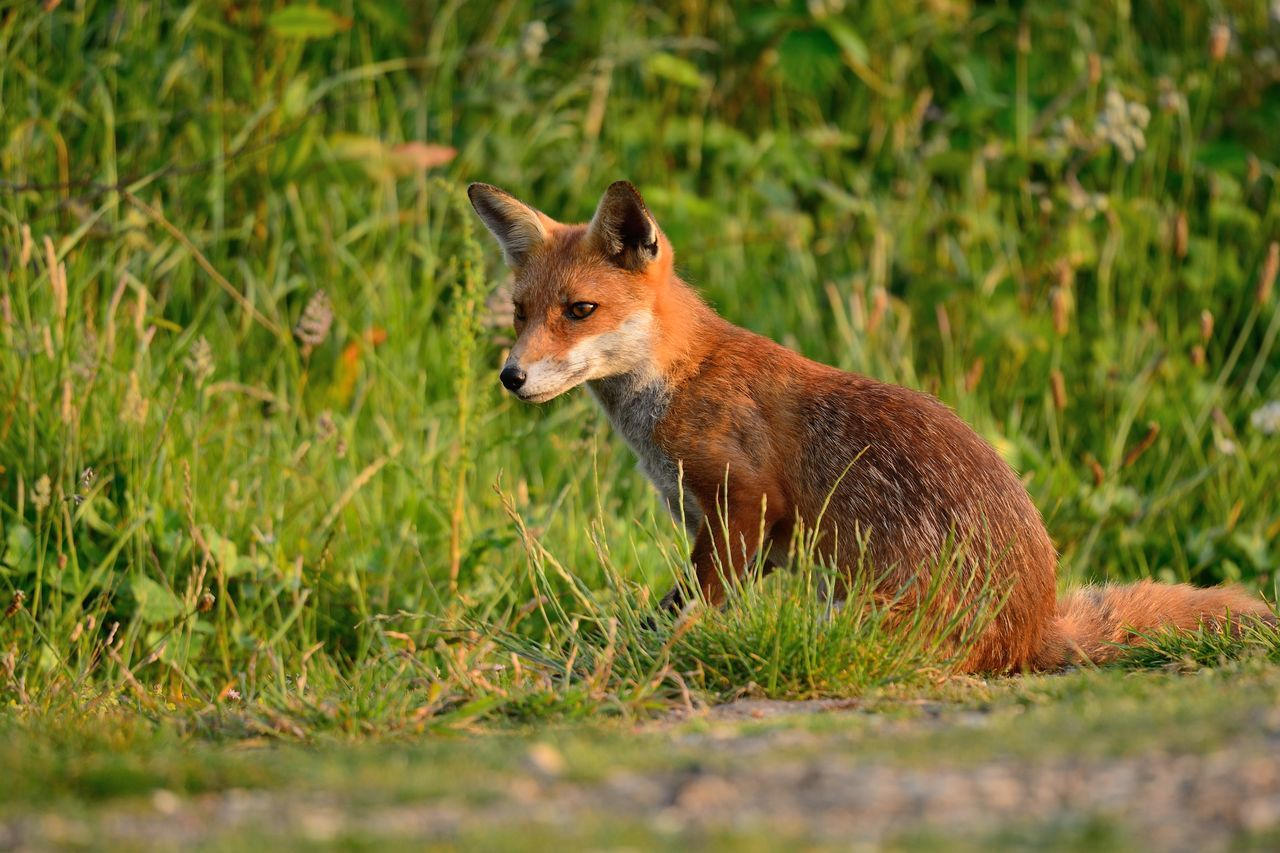 Animal Animal Themes Animal Wildlife Animals In The Wild Beauty In Nature Check This Out City Close-up Eye4photography  EyeEm Best Shots EyeEm Gallery EyeEm Nature Lover Focus On Foreground Fox Grass Nature Nature Photography Nature_collection Naturelovers No People One Animal Outdoors Sitting Taking Photos Wildlife