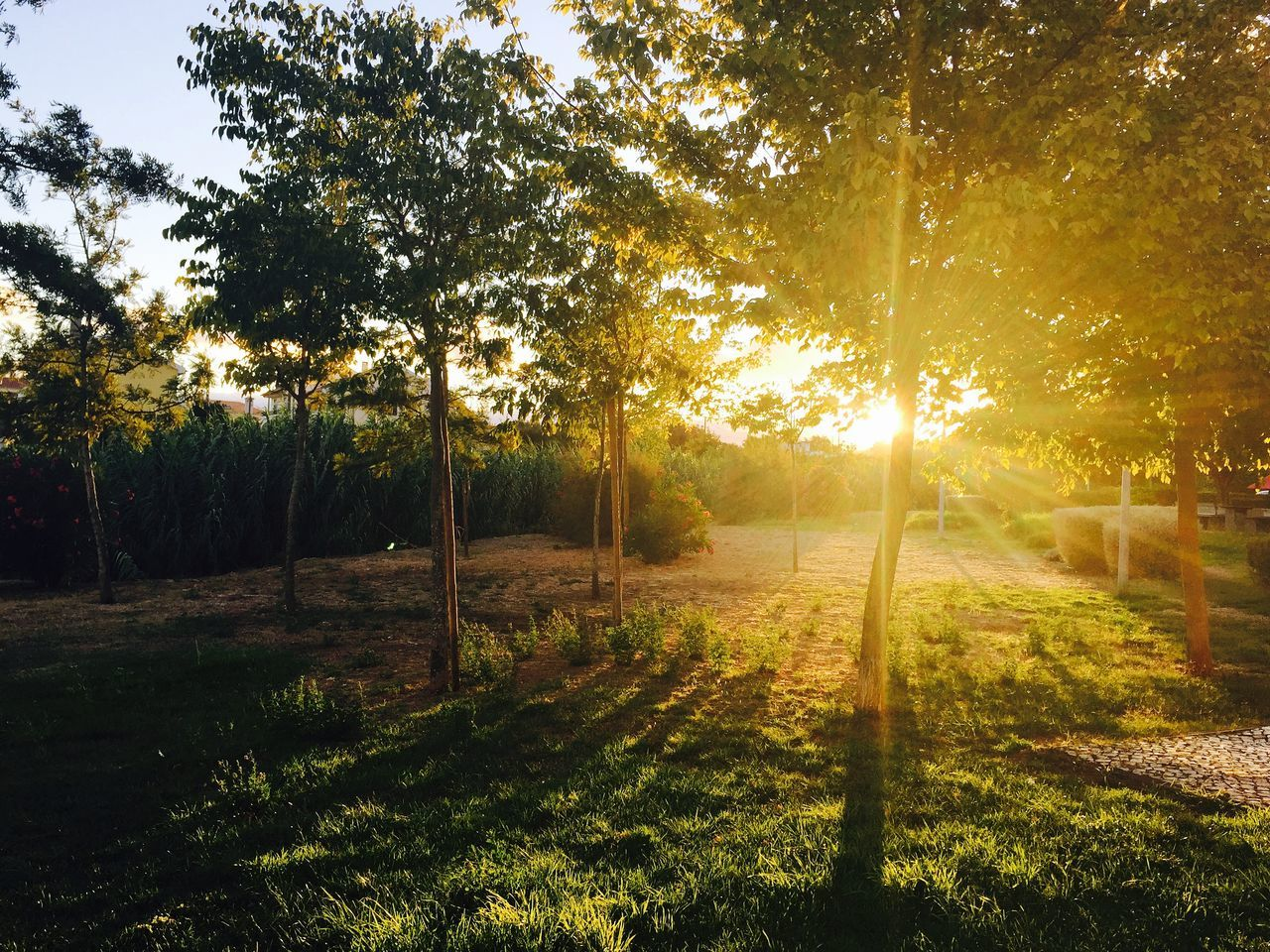 Trees Growing On Grassy Field Against Bright Sun At Sunset