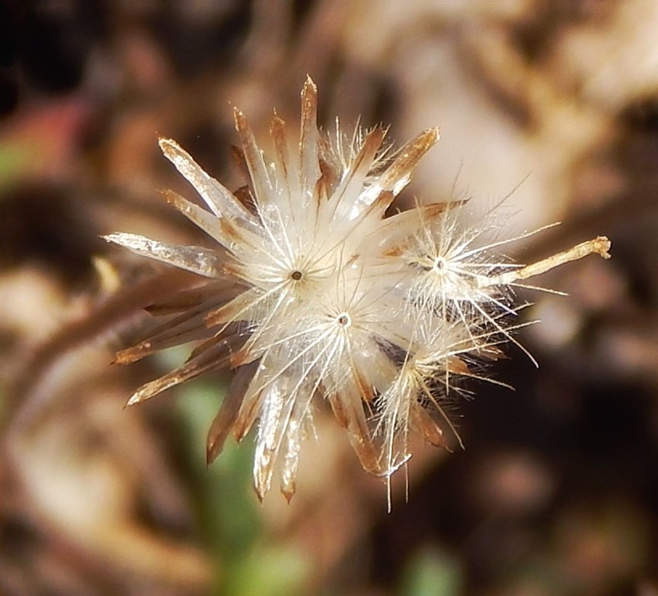 dandelion, flower, fragility, dandelion seed, focus on foreground, softness, nature, flower head, close-up, plant, growth, wildflower, beauty in nature, uncultivated, no people, day, freshness, outdoors