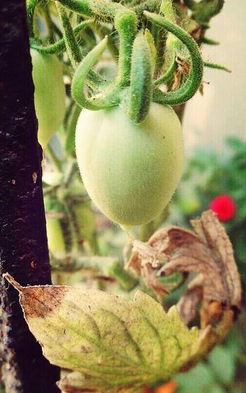 Baby Tomato Nature's Bounty