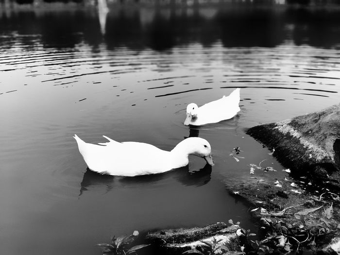 Water Reflection Lake No People Nature Floating On Water Outdoors Day Swan Beauty In Nature Bird