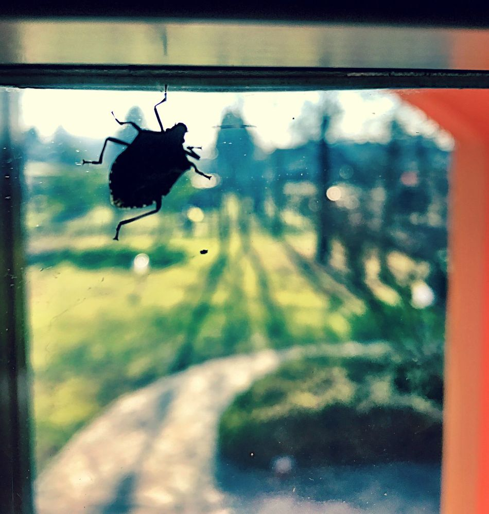 Animal Themes One Animal Wildlife Animals In The Wild Silhouette Day No People Nature Insect Outdoors Spread Wings Close-up Garden Close Up Stinkbug Bug IPhoneography Shotoniphone7 Indoors  Green Stink Bug Glass Window Insect Photography Insects  Focus On Foreground