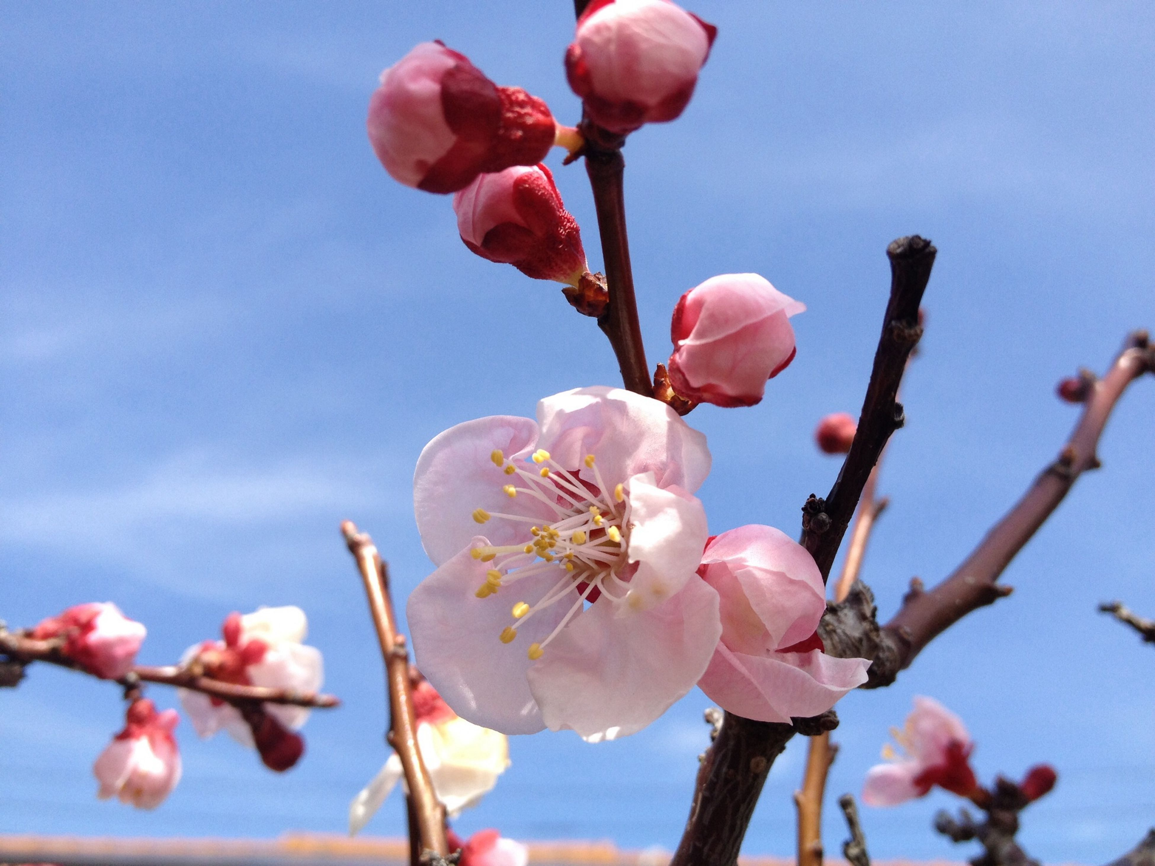Apricot blossoms. Spring has come ! Hello World Taking Photos Spring Enjoying Life