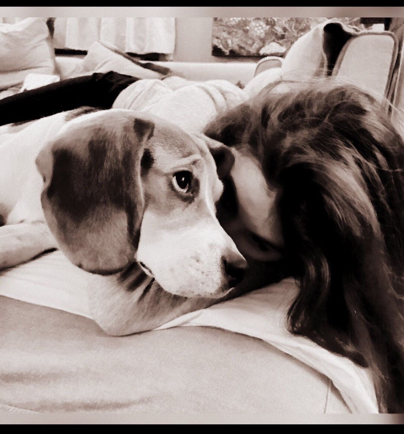 Pets Dog Looking At Camera One Animal Domestic Animals Animal Themes Portrait Mammal Lying Down Close-up Indoors  Day Beagle Beagles  Beaglelovers Beagleoftheday Beaglelove Beagle Love Beaglelife Dogs Dogslife Dog Love Cute Pets Love