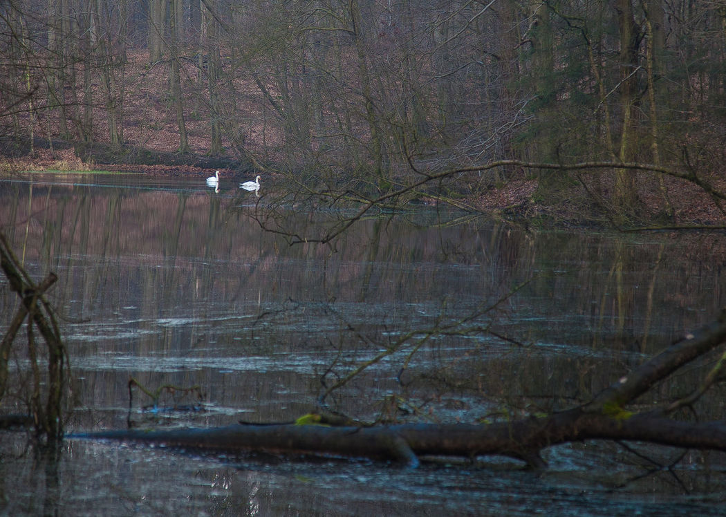 Schwanensee in der Hahnheide bei Trittau. Hahnheide Schwanensee Trittau