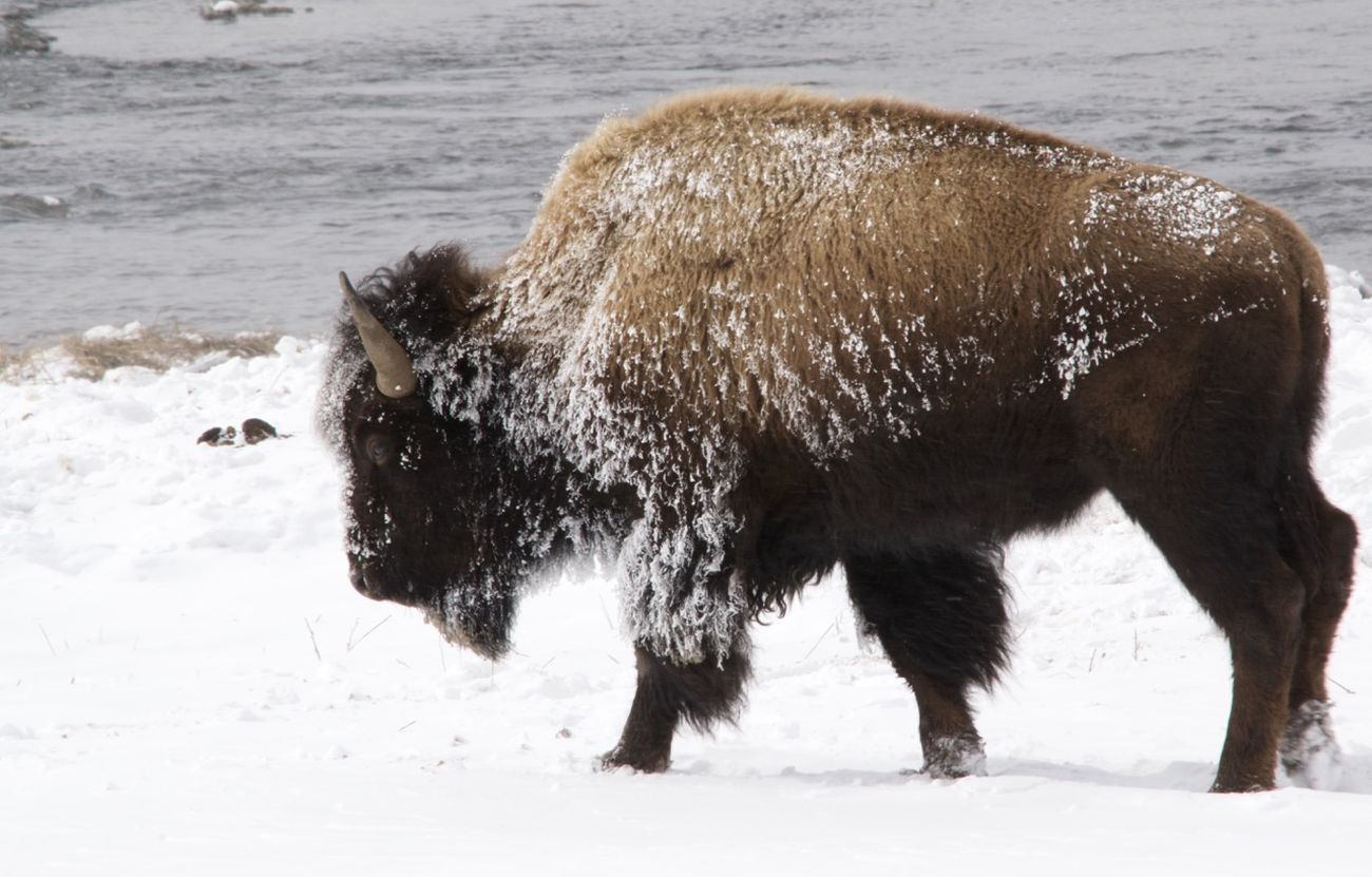 Frost covered Bison American Bison Animal Themes Animal Wildlife Animals In The Wild Bison Cold Temperature Day Field Mammal Nature No People One Animal Outdoors Snow Water Wyoming USA Yellowstone In The Winter