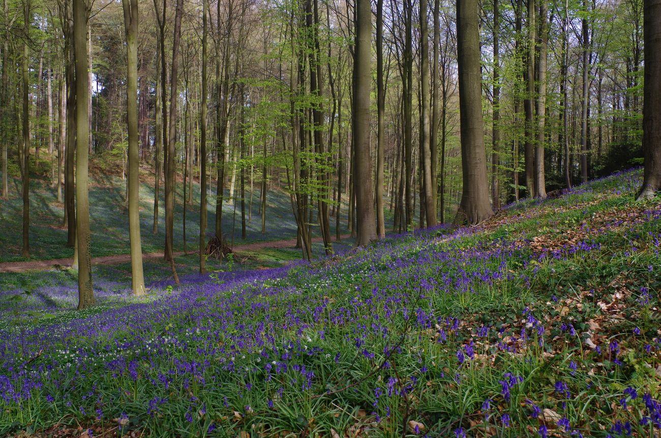 Bois De Halle Hallerbos en Fleurs Jacinthe en folie. Halle  Brabant Belgium Nature Nature Photography Naturelovers Pentax