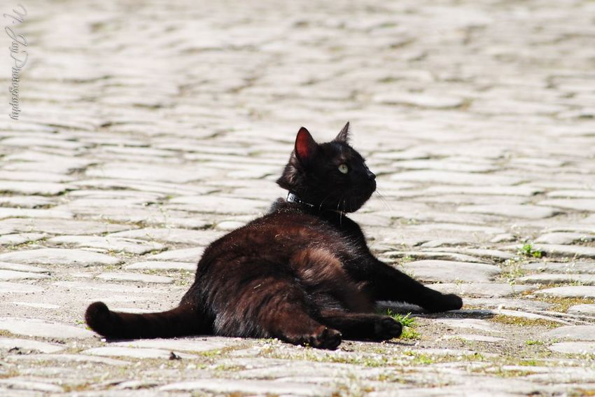 Pebbles Cat Cat Lovers Animal Streamzoofamily Eye4photography  Black Cat Cobblestones Cobbles Simplicity Stones Country CDRE Cats Pet Pets Corner Four Legs And A Tail Fluffy Cute Pets Lookingup Capture The Moment Springtime Countryside Animal Themes Sitting EyeEm Masterclass Alertness