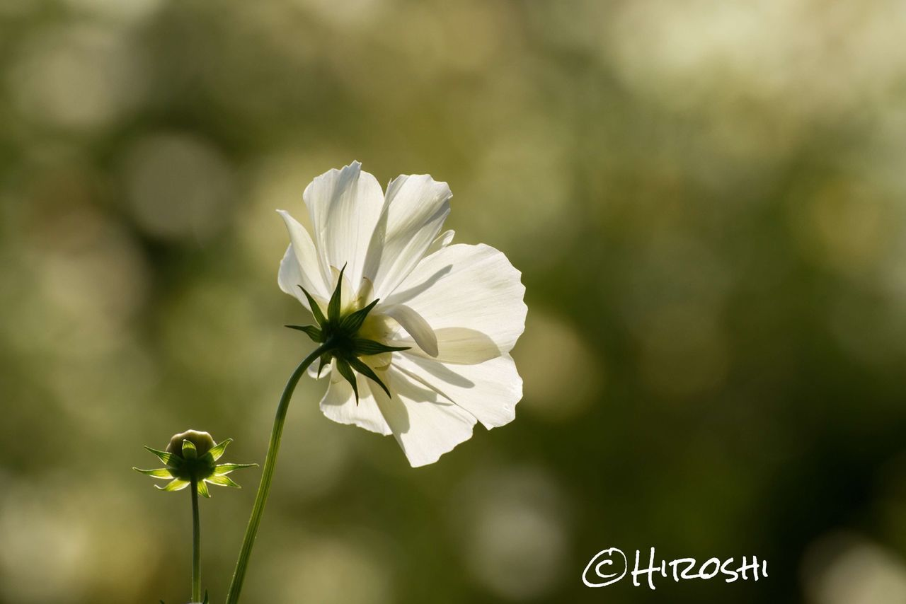 flower, petal, growth, fragility, nature, flower head, beauty in nature, focus on foreground, plant, freshness, blooming, white color, day, no people, outdoors, close-up, snowdrop