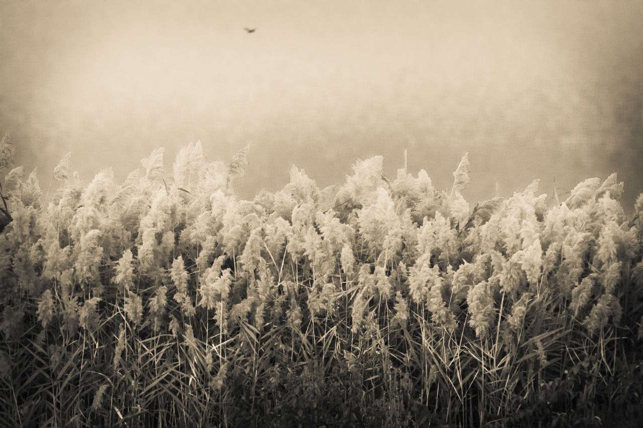 Beauty In Nature Day Desaturated Foxtail Foxtail Fern Foxtail Grass Foxtails Grass Growth Nature No People Outdoors Plant