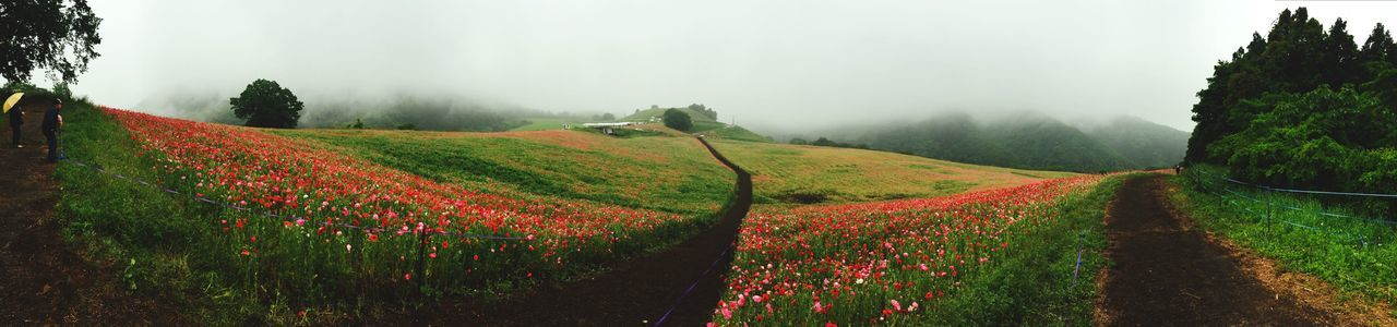 Poppy field 🌺💕Long long road to.... Poppy Flowers Poppy Fields Poppies  The Great Outdoors - 2016 EyeEm Awards The Places I've Been Today The Way Forward From My Point Of View Flowers Flower Flowerporn Flower Collection Flowers,Plants & Garden Flowers, Nature And Beauty Flower Photography Flower Porn Landscape Landscape_Collection Landscape_photography Panorama Panoramic View Panoramic Panoramic Photography Misty Romantic Ultimate Japan
