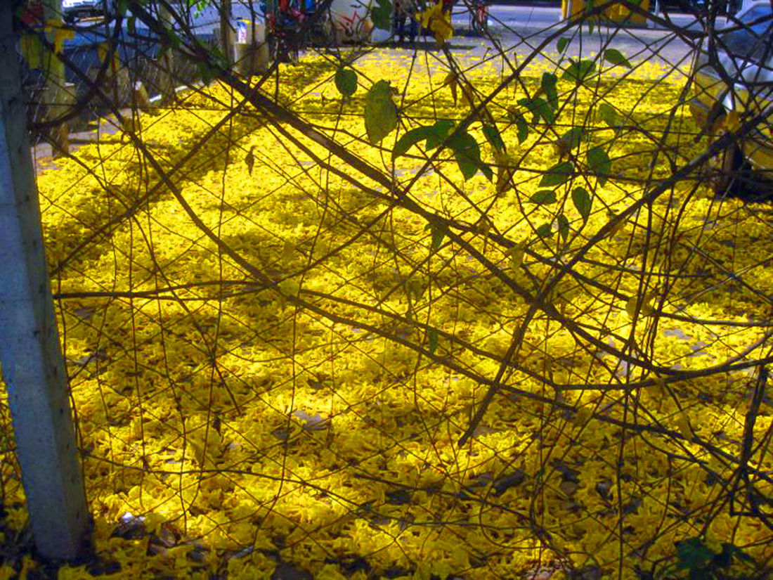 Beauty In Nature Close-up Day Fallen Blossoms Nature No People Outdoors Tree Yellow Yellow Color