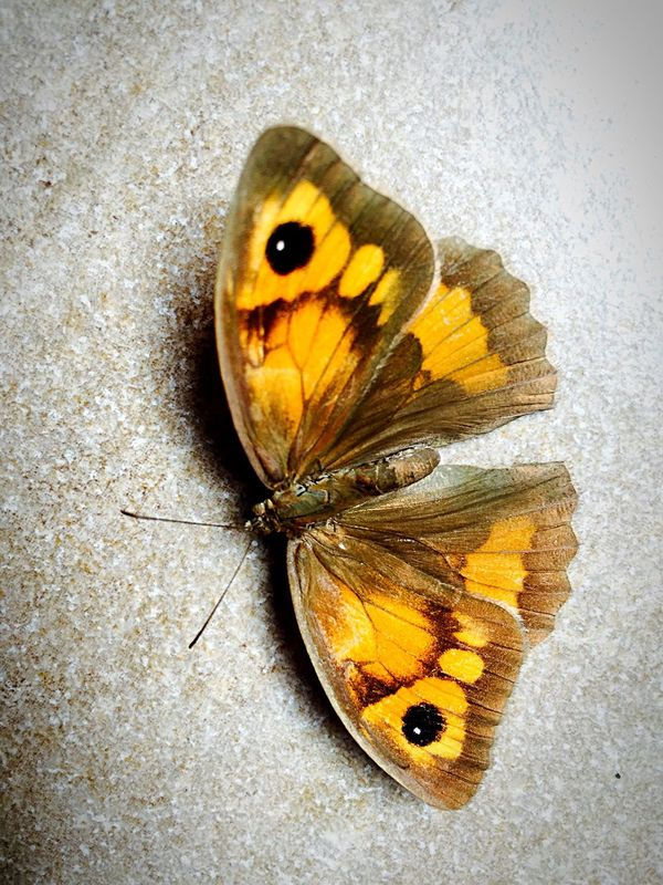 new animals that appear by house, lady butterfly. Wildlife Close-up Animals In The Wild Butterfly Yellow Butterfly - Insect Insect Animal Themes High Angle View Moth Brown Animal Wing Nature Arthropod Focus On Foreground No People Butterfly Pavilion Animals At Home Pet Portraits