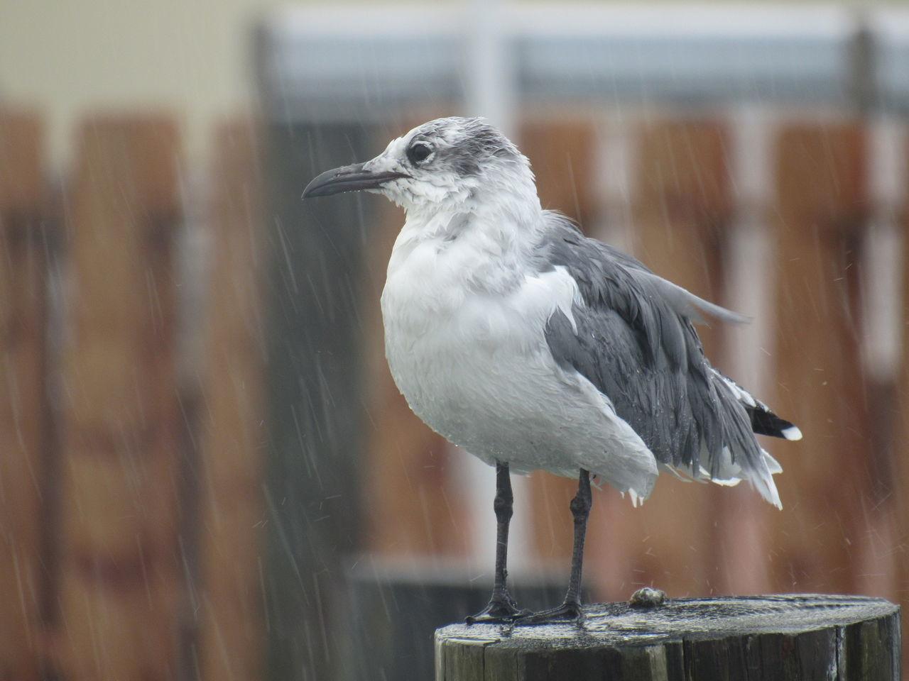 Wet Seagull Animal Themes Animals In The Wild Beak Beauty In Nature Bird Close-up Day Focus On Foreground Nature No People One Animal Perching Raining Day Wet Wildlife Zoology Premium Collection