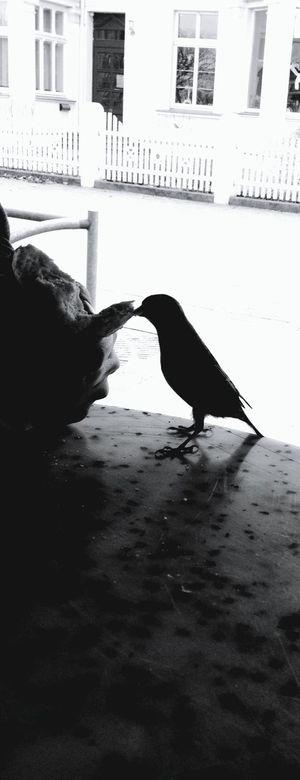 . Die Vögel Raubtierfütterung Black & White