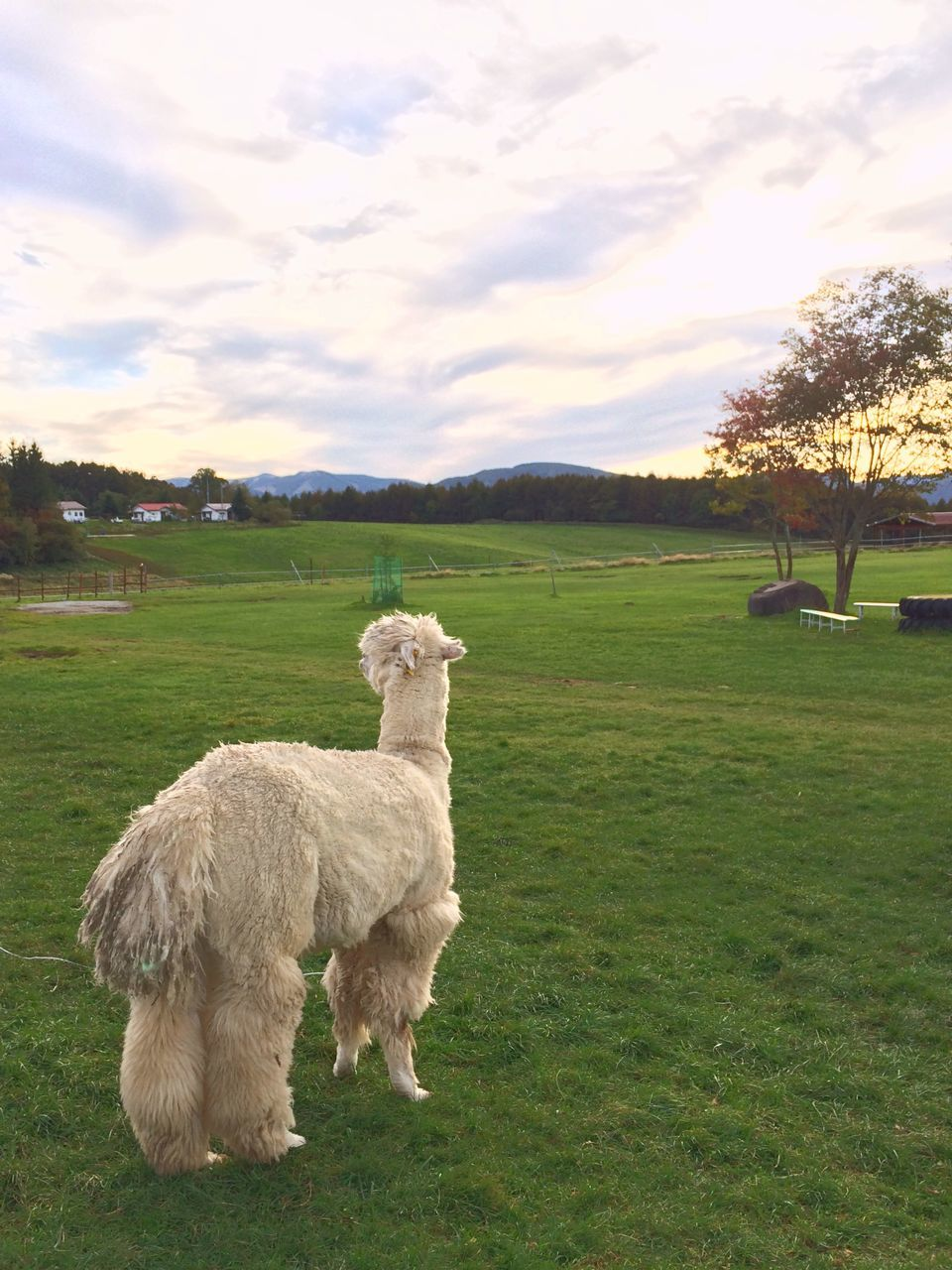 Rear View Of Alpaca On Grass Against Sky