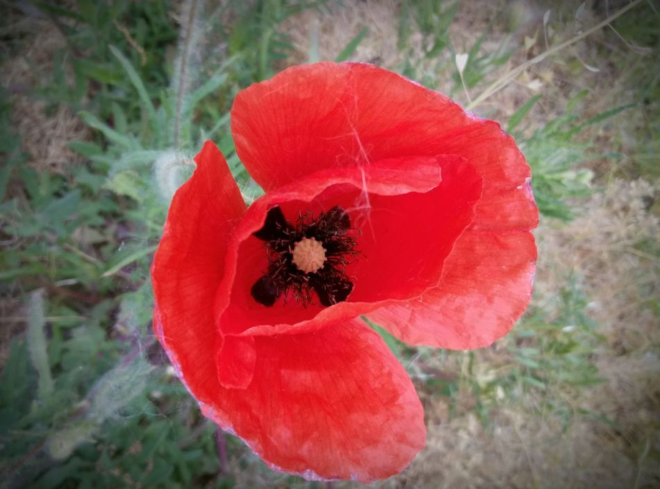 Flower Red Nature Beauty In Nature Growth Poppy Plant Fragility Petal No People Flower Head Day Close-up Outdoors Freshness