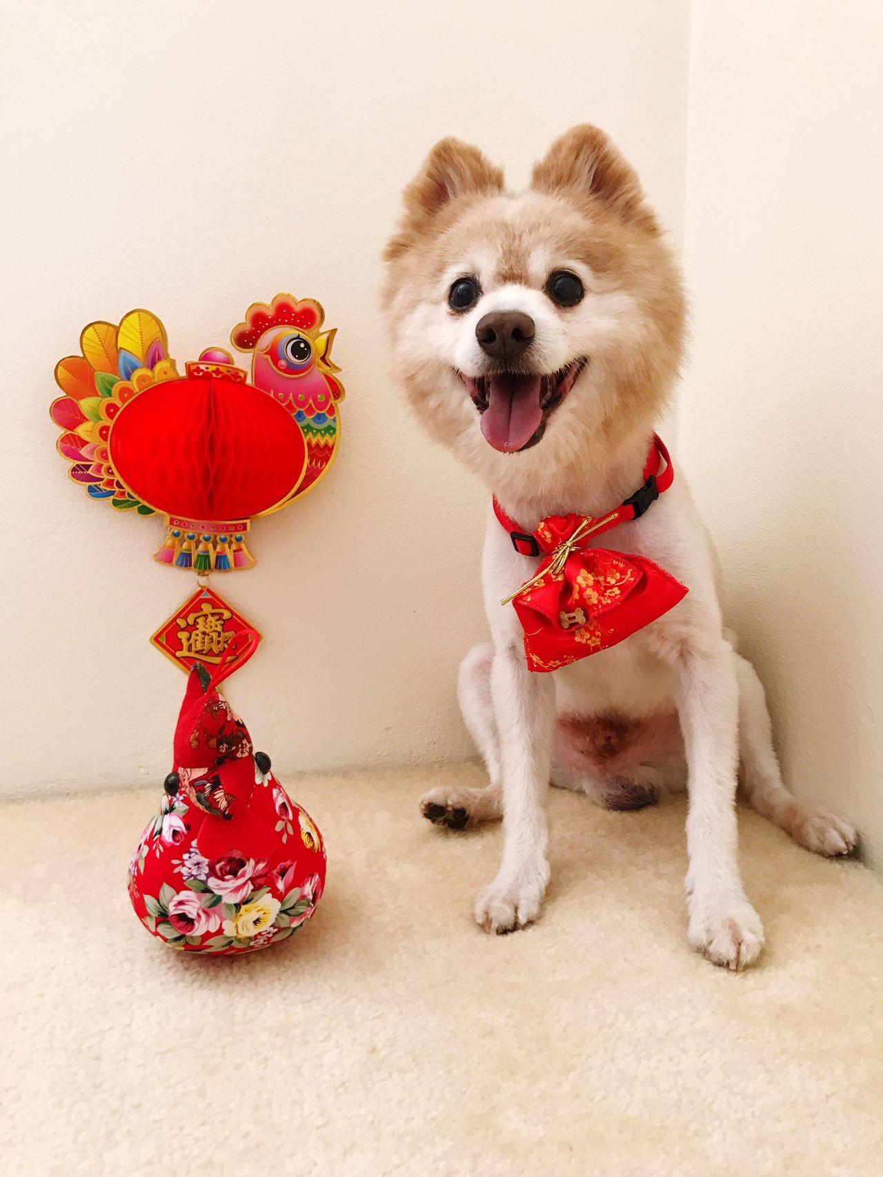 Happy Dog Lunar New Year Celebration | Dog Shotoniphone7plus