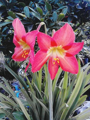 """Lilies"" Flower Collection Flowers Beautiful God's Creation"