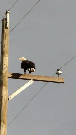 Eagle Eagle Perched Eagles Look Eagle Photography