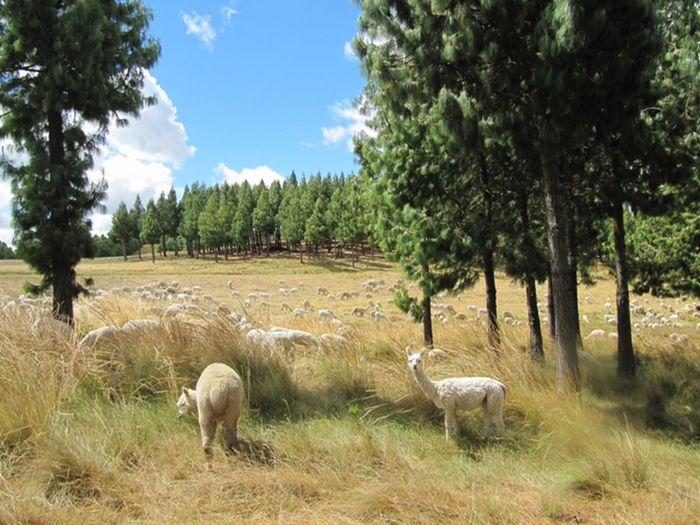Alpaca Beauty In Nature Cajamarca-Perú Day Field Granja Grass Grassy Grazing Green Color Growth Herbivorous Landscape Livestock Nature Outdoors Porcon Rural Scene Scenics Sheep Sky Tranquil Scene Tranquility Tree Young Animal