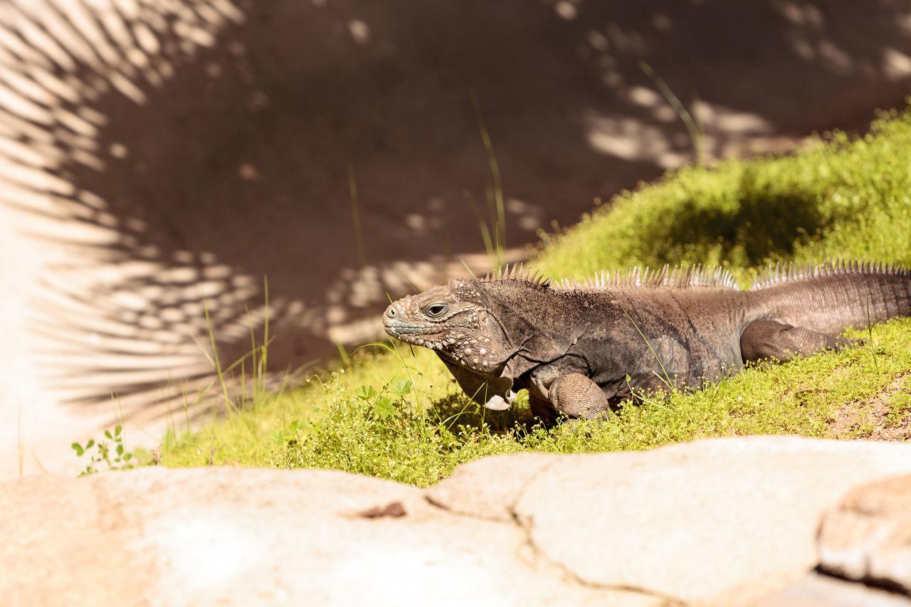 Cuban iguana known as Cyclura nubila nubile is found in dry coastal habitat in Cuba. Cuban Iguana Cyclura Nubila Cyclura Nubila Nubile Herp Herpetology Iguana Lizard Reptile Saurian