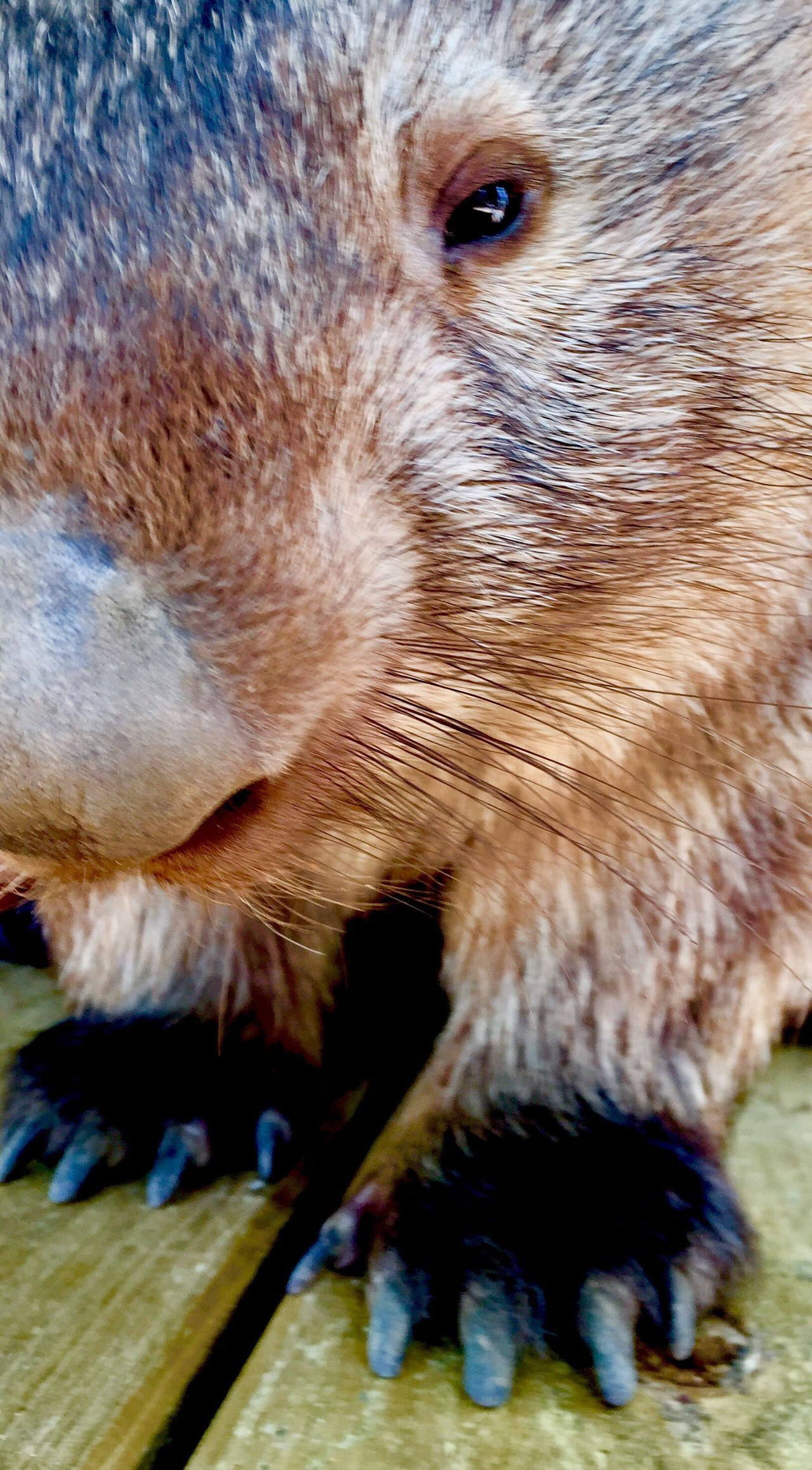 EyeEmNewHere One Animal Animal Themes Close-up No People Snout Day Wombat  Marsupial Wildlife Wildlife & Nature Australia Australian Wildlife Australian Furry Claws