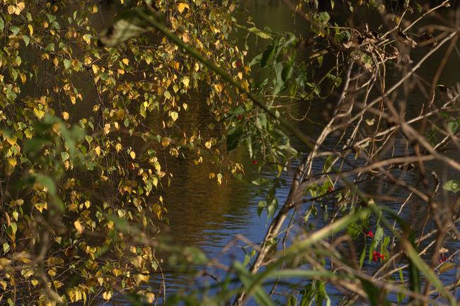 Birch Brzoza Jezioro Lakeshore Leaf Nature Selective Focus Twig Water