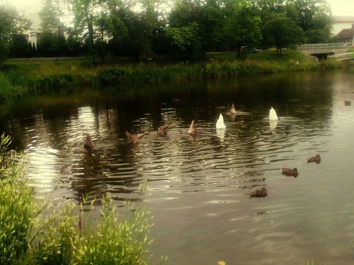 All Butts In The Air Swan Divingday 123dive Familydiving Summersummersummertime Check This Out