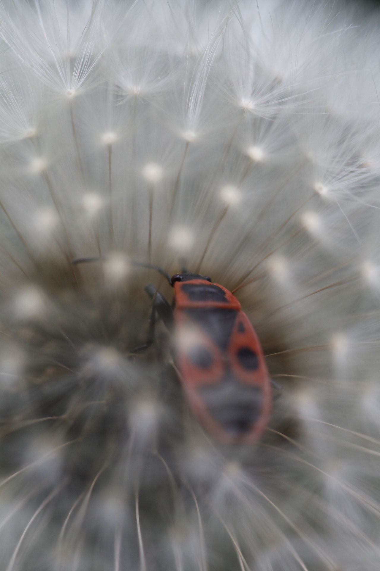 Animal Themes Animals In The Wild Beauty In Nature Bianco Blur Close-up Contrast Contrasts Dandelion Seed Insect Insetto Macro Macro Beauty Macro Photography Macro_collection Nature No People One Animal Outdoors Red Rosso Sfocatura Tarassaco Tarassaco Comune White EyeEmNewHere