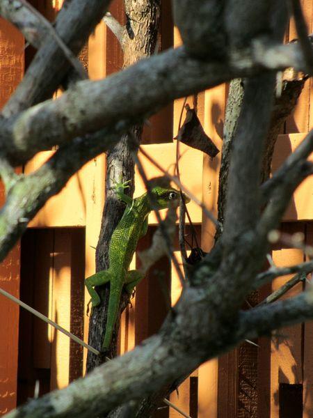 Lizard Lizards Iguana Green Iguana Iguanas Florida Wildlife Wildlife Hidden In Plain Sight Hiding In Plain Sight Among The Branches Among The Trees
