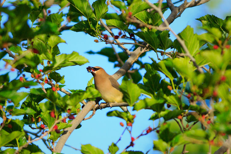 Cedar Waxwing Mulberry Tree Juicy Berries Fruit Birds Birds Of EyeEm  In A Tree Lunch Time! Mulberries Eating Canon 5d Mark Lll Nature Animals Birds_n_branches