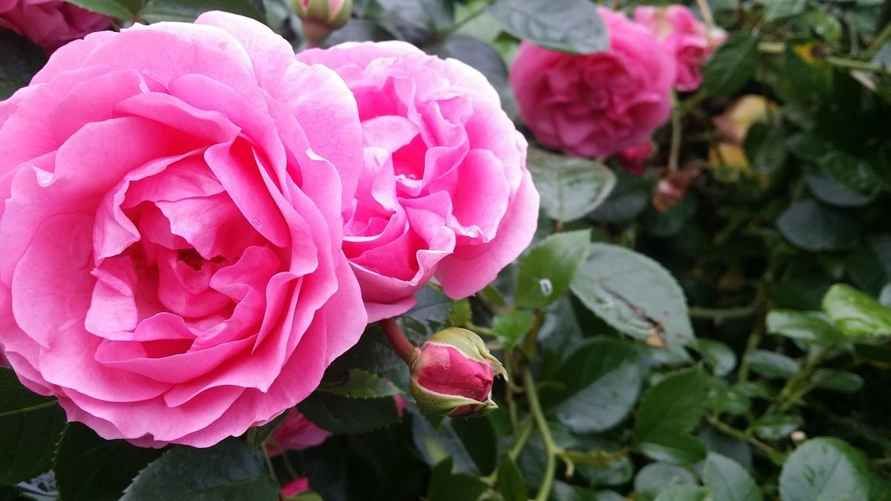 In my garden 🌹 Flower Freshness Fragility Petal Growth Close-up Beauty In Nature Pink Color Nature Springtime Blossom Rose - Flower Plant