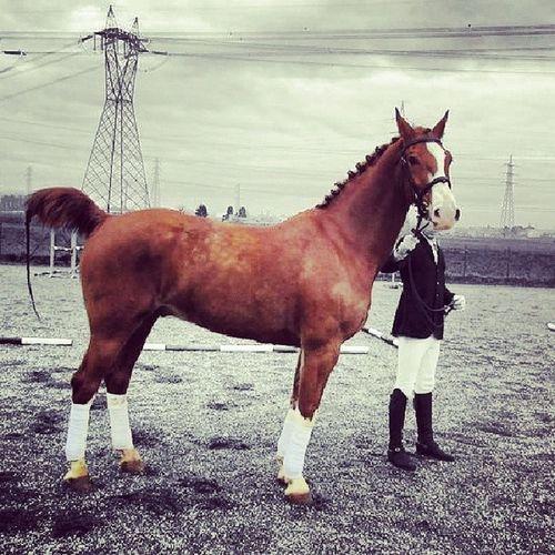 Horse Cavallo Paard Gelders Tuigpaard Mooi Attacchi Redinilunghe