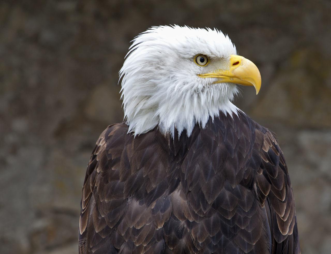 Eagle in command Alertness Bald Eagle Beak Bird Disdainful Eagle Individuality Nature