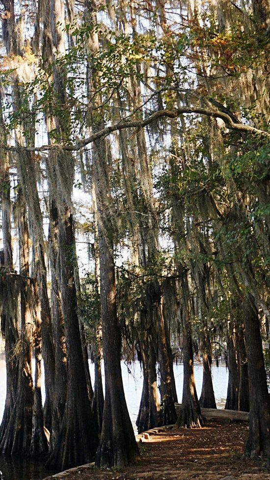 Beautifully Organized Spanish Moss Tree Nature Growth Outdoors No People Beauty In Nature Day Caddo Lake