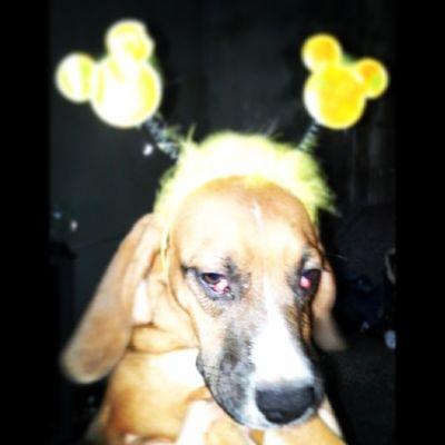 Minha linda para o carnaval ... DONATELLA @_queen_m Riodejaneiro Instamatic Goodvibe 2014 chegacomsucesso sucesso dogs mydog entaovai lol brazilian brazil RJ love amormemo lovememo true