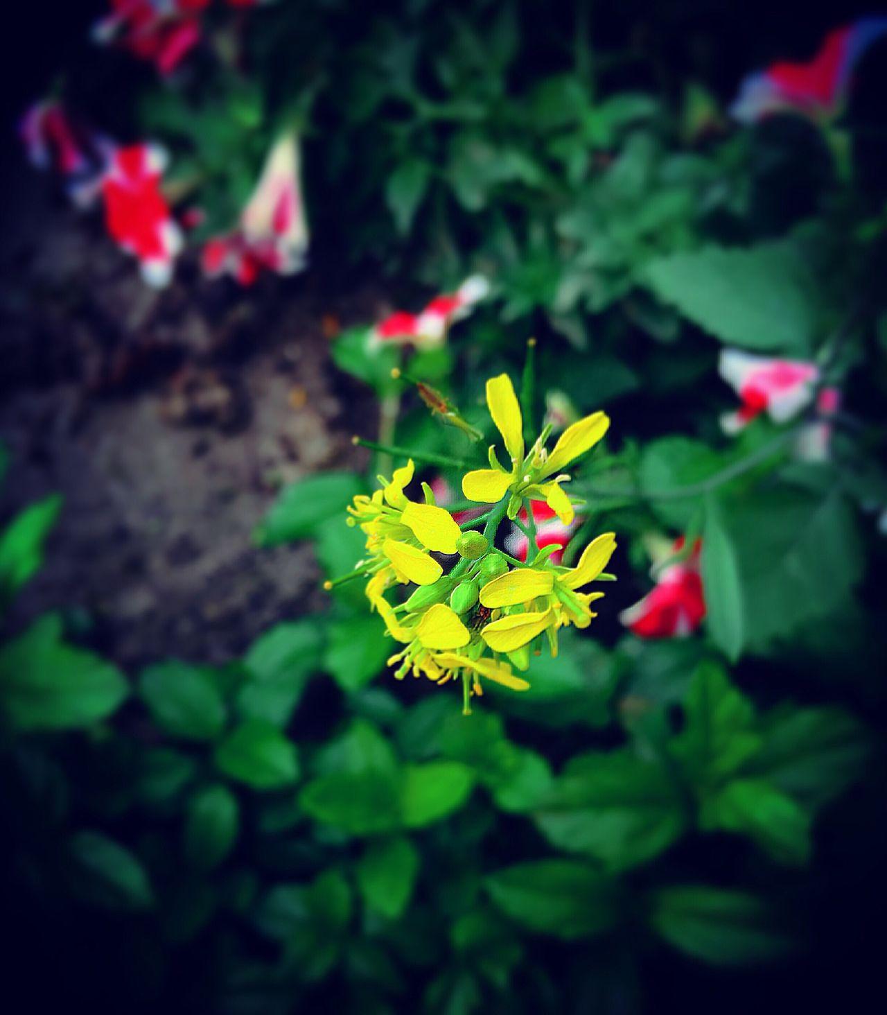 Sunshineyellow Littleflower