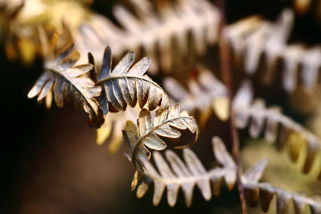 Dried up fern frond. Autumn Autumnal Autumnal Leaves Beauty Of Decay Close-up Copy Space Day Decay Dried Up Dry Elegant Eye4photography  EyeEm Best Shots EyeEm Gallery EyeEm Nature Lover Farewell Fern Fern Frond Intricacy No People Old Selective Focus Still Life