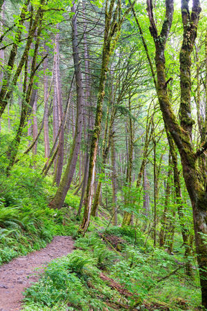 Hiking trail leading through a forest in the Columbia River Gorge in Oregon Branch Columbia Creek Environment Forest Green Horsetail Horsetail Falls Landscape Multnomah Natural Nature Oneonta Oregon Pacific Northwest  Portland Portland, OR River Rivergorge Scenery Stone Tree United States Water Waterfall