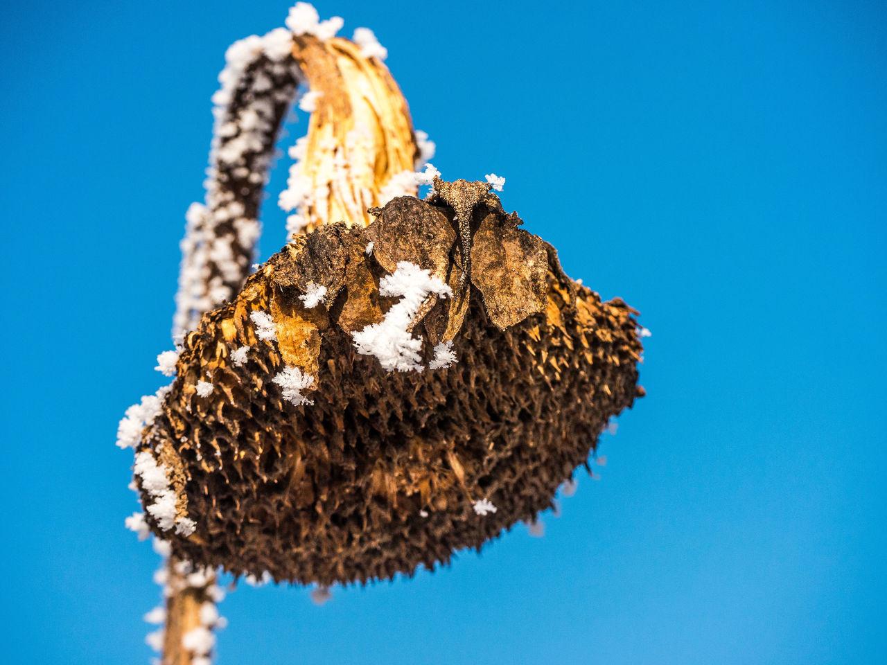 Sonnenblumen im Schnee Eye Em Nature Lover Frozen Sunflower Nature No People Outdoors Schnee Sonnenblume Im Winter Sonnenblume Mit Schnee Sunflower Sunflower In December Sunflowerfield Winter