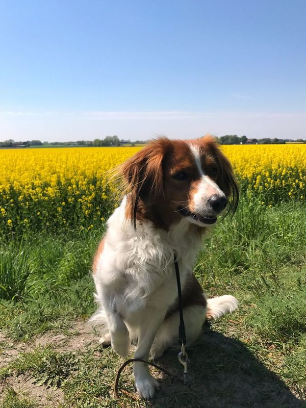 Field Flower One Animal Nature Animal Themes Yellow Pets Dog Outdoors No People Clear Sky Beauty In Nature Landscape Grass Sky Rapeseed Field Rapeseed Blossom Rapeseed Kooikerhondje  Kooiker