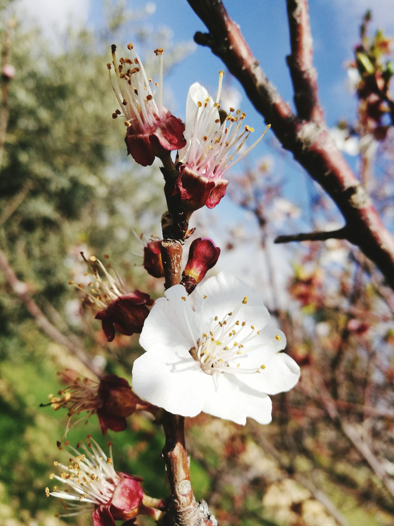 Nature Flower Growth Close-up Beauty In Nature Flower Head Apricot Tree Apricot Flowers Plant No Filter