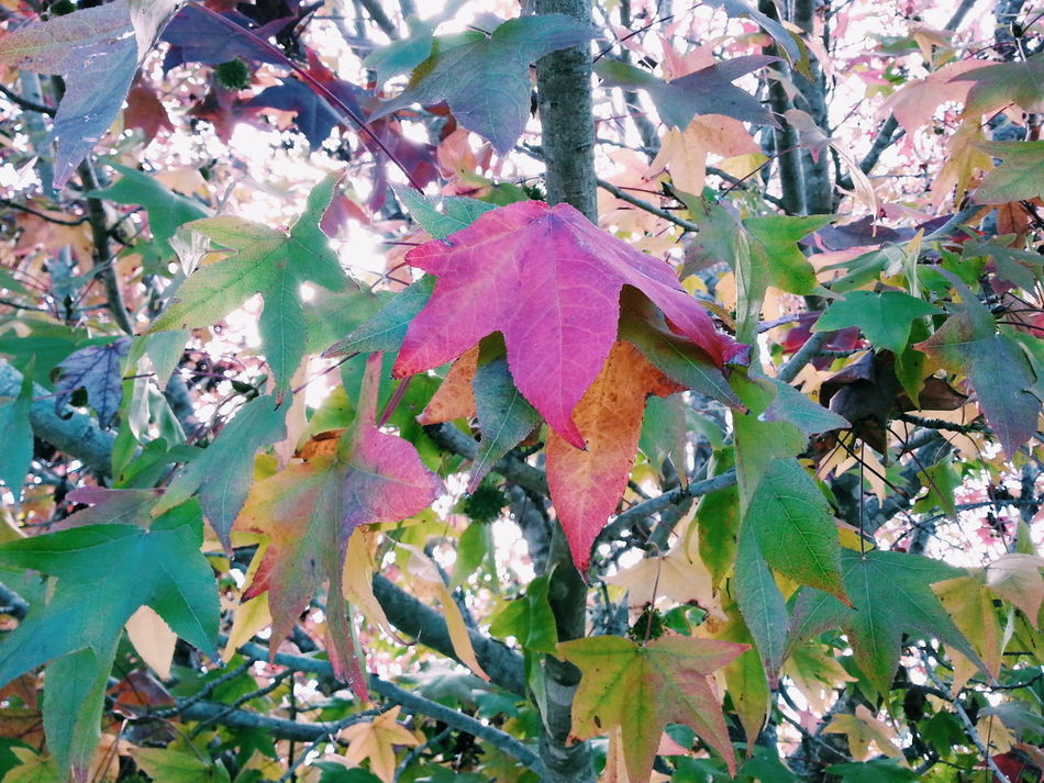 I love the Colours Of Autumn :) Nature Lover Tree_collection  Leaves_collection Leaves Vscocam Vscophile Vscoaustralia Showcase June