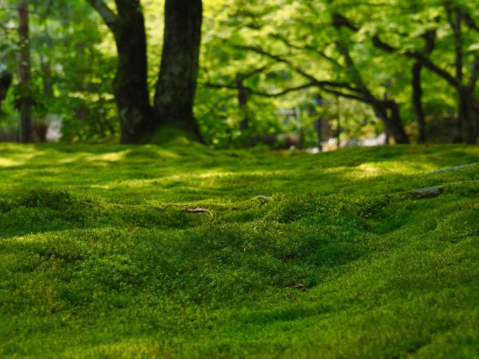 Kyoto Japan Arashiyama Hogonin Temple Garden Green Nature Moss Tree Growth Beauty In Nature Outdoors Day Healing Silence Summer Olympus PEN-F 京都 日本 嵐山 宝厳院 獅子吼の庭