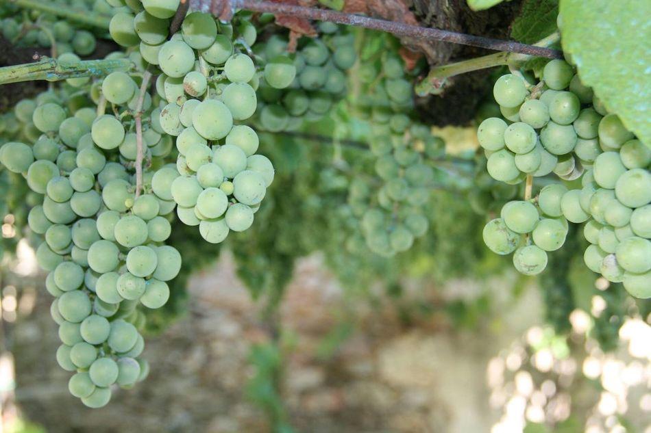 Un buen vino en proceso Grape Green Color Freshness Nature Wine Albariño Beauty In Nature Colour Of Life Naturephotography EyeEm Nature Lover Delicious Selective Focus