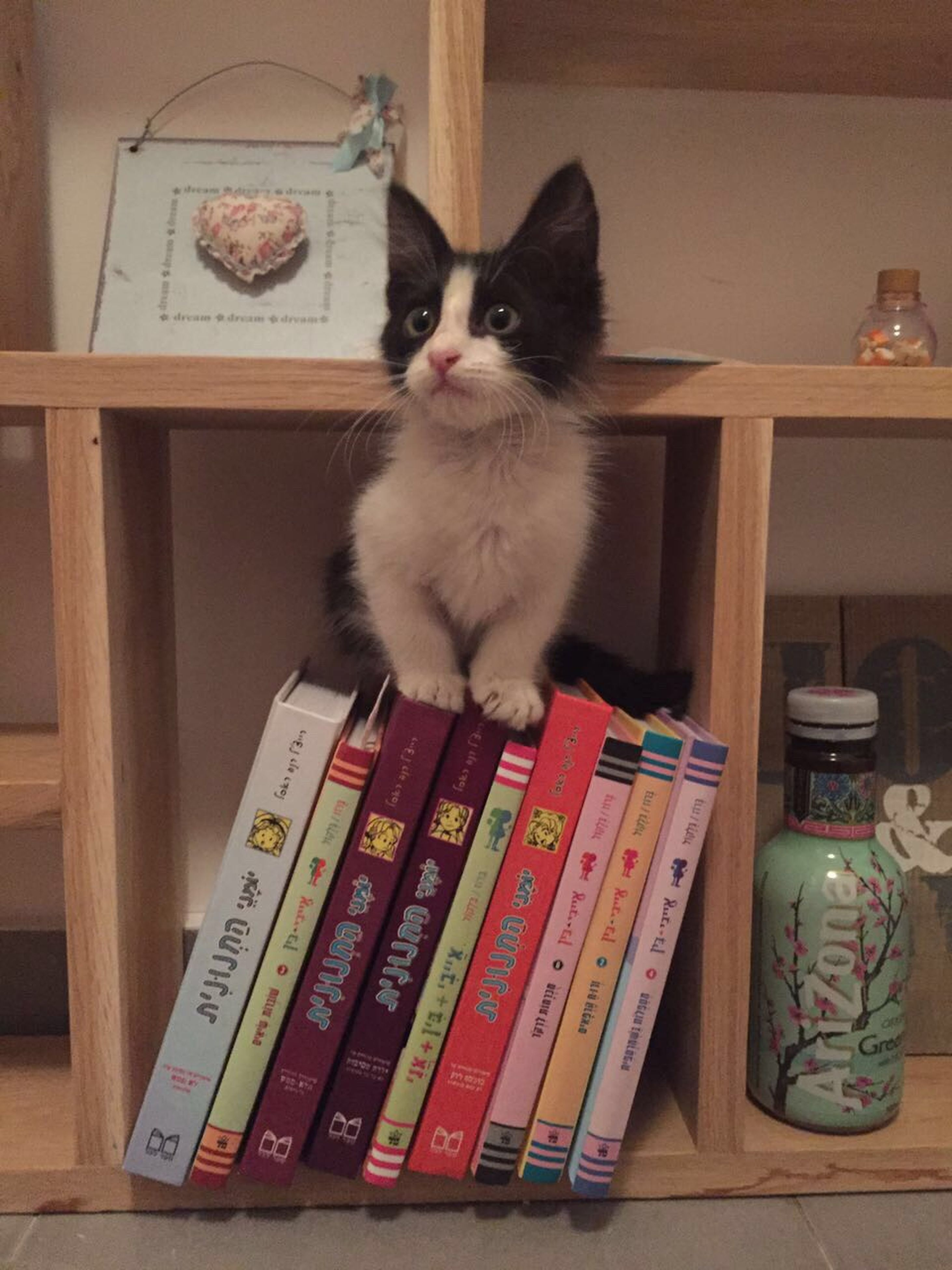 indoors, domestic cat, home interior, cat, table, pets, animal themes, one animal, book, feline, domestic animals, chair, shelf, home, no people, sitting, wood - material, communication, text, relaxation