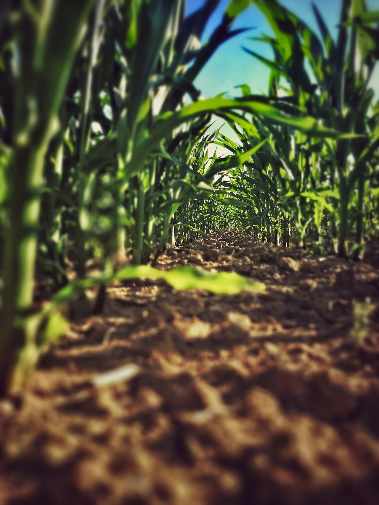 Growth Nature Leaf Farm Beauty In Nature Outdoors Green Color Field Way Corn Macro Tiny World Tiny Worlds Tiny World/Planet Looks Like A Tiny World